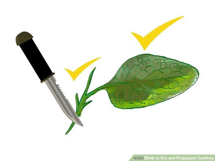 گیاه دارویی کامفری 6