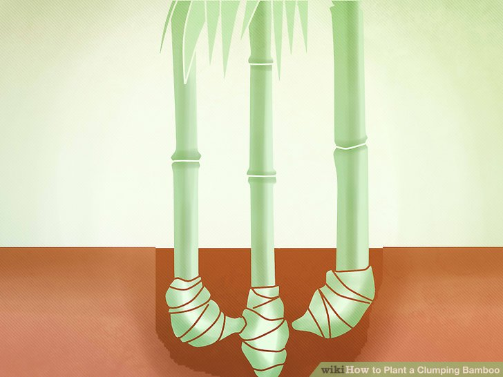 Image titled Plant a Clumping Bamboo Step 10