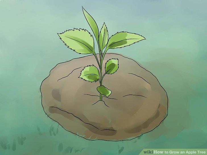 آموزش کاشت درخت سیب مرحله  11