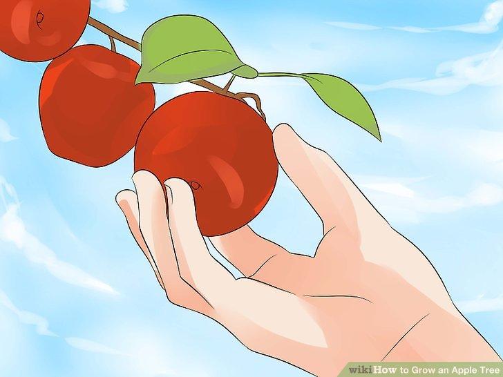 آموزش کاشت درخت سیب مرحله  17