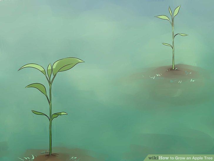 آموزش کاشت درخت سیب مرحله  9