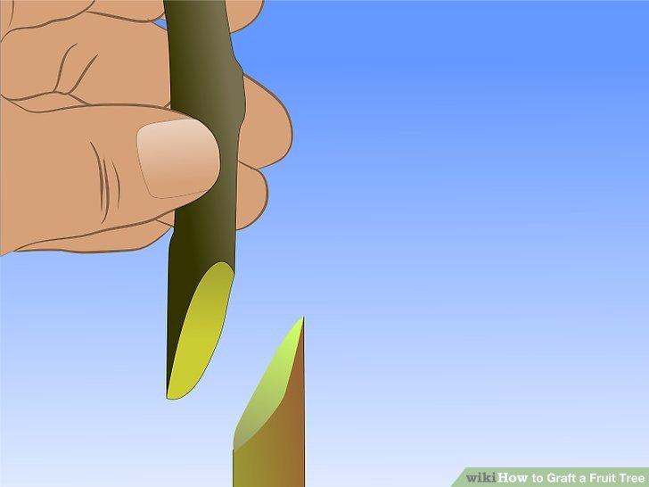 Image titled Graft a Fruit Tree Step 11