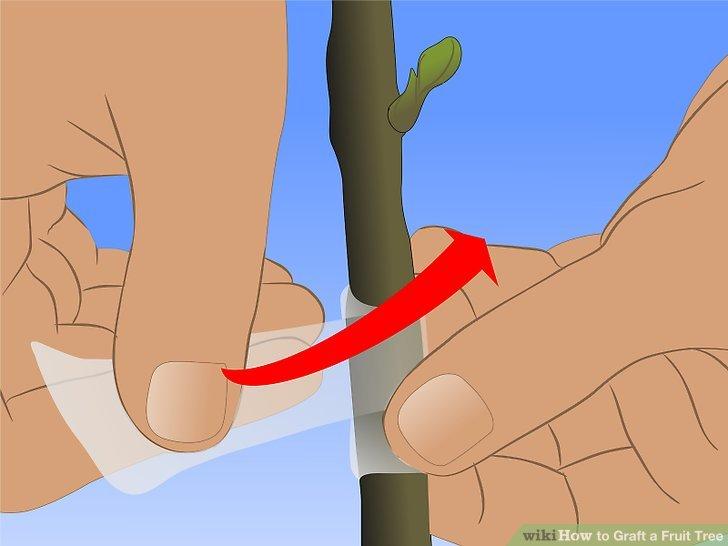 Image titled Graft a Fruit Tree Step 14