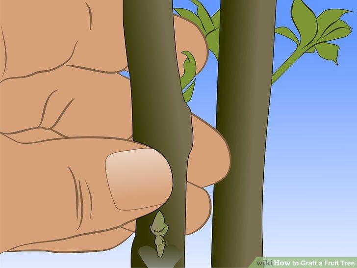 Image titled Graft a Fruit Tree Step 2
