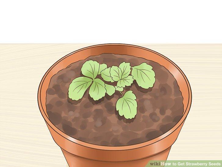 آموزش تولید بذر توت فرنگی مرحله 11