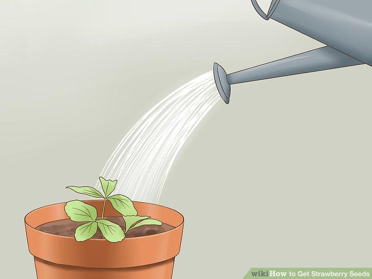 آموزش تولید بذر توت فرنگی مرحله 12