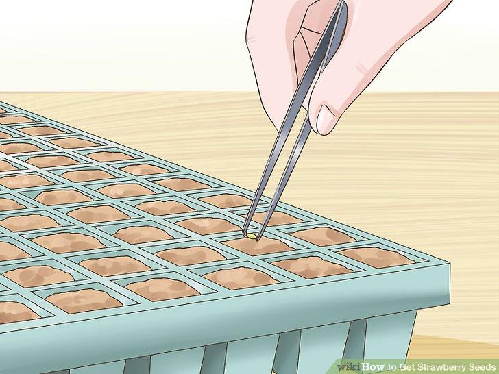آموزش تولید بذر توت فرنگی مرحله 7