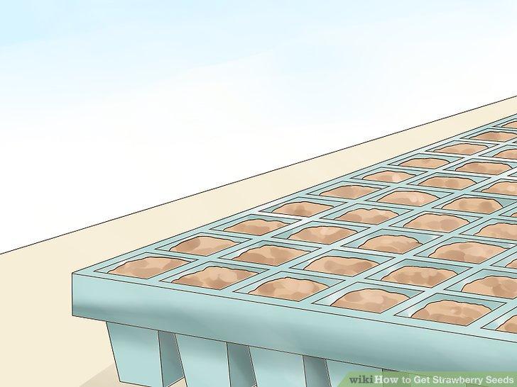 آموزش تولید بذر توت فرنگی مرحله 8