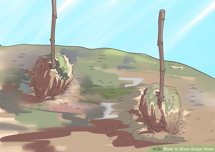 آموزش کاشت درخت انگور مرحله 7