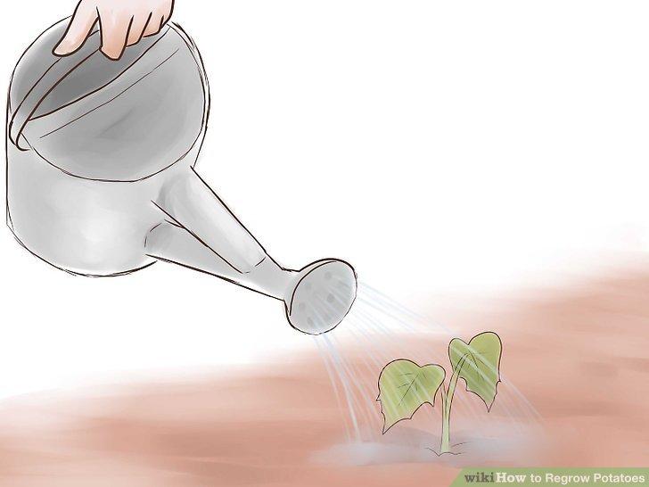 Image titled Grow Sweet Potatoes Step 18