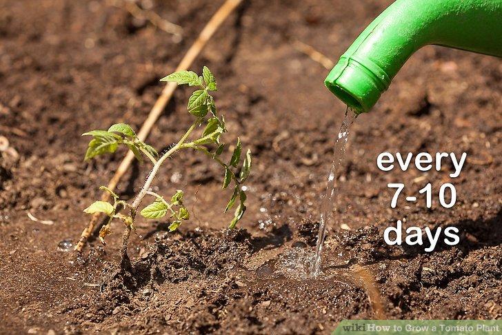 آموزش کاشت گوجه فرنگي مرحله 11