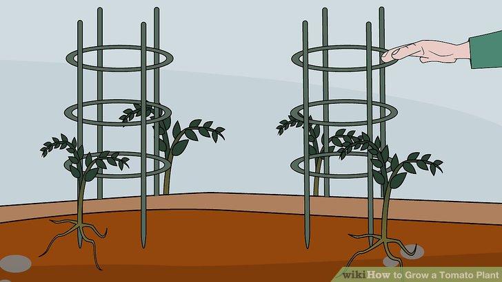 آموزش کاشت گوجه فرنگي مرحله 15