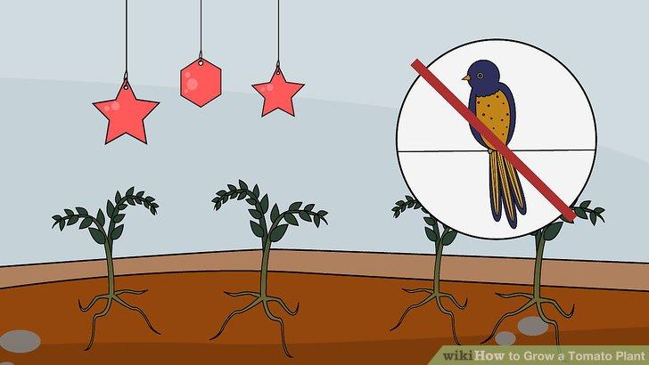 آموزش کاشت گوجه فرنگي مرحله 20