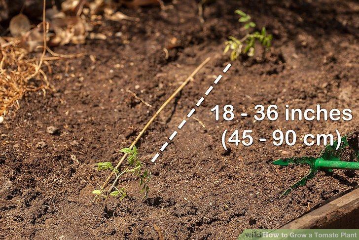 آموزش کاشت گوجه فرنگي مرحله 7