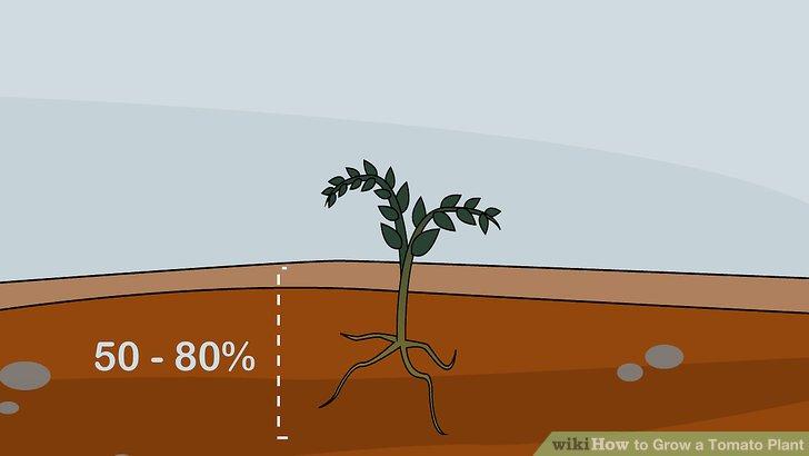 آموزش کاشت گوجه فرنگي مرحله 8