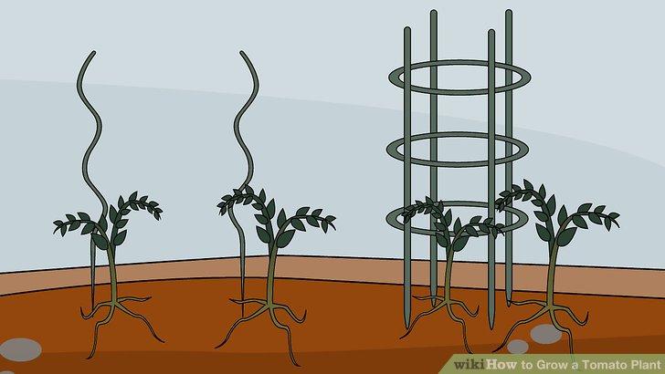 آموزش کاشت گوجه فرنگي مرحله 9