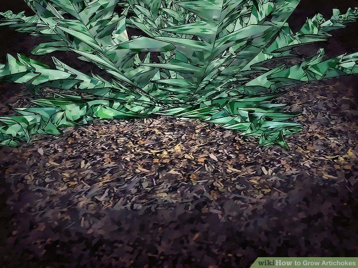 Image titled Grow Artichokes Step 12