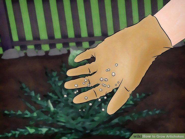 Image titled Grow Artichokes Step 9