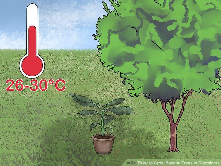 آموزش کاشت درخت موز در گلدان مرحله 10
