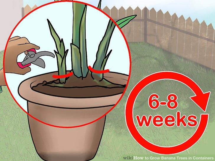 آموزش کاشت درخت موز در گلدان مرحله 11