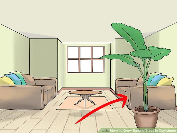 آموزش کاشت درخت موز در گلدان مرحله 12