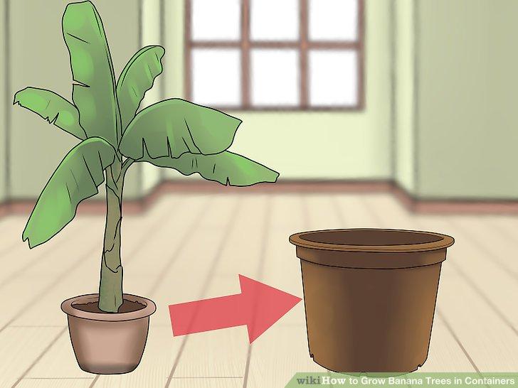 آموزش کاشت درخت موز در گلدان مرحله 13