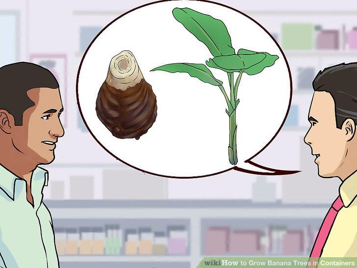 آموزش کاشت درخت موز در گلدان مرحله 4