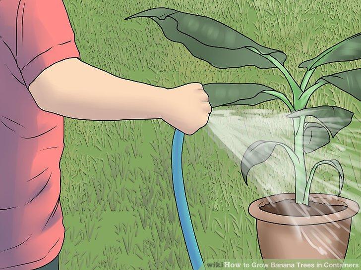 آموزش کاشت درخت موز در گلدان مرحله 9