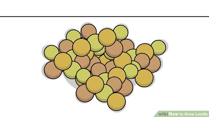 Image titled Grow Lentils Step 1