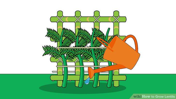 Image titled Grow Lentils Step 10