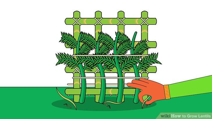 Image titled Grow Lentils Step 11