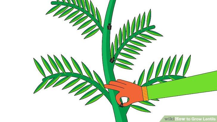 Image titled Grow Lentils Step 12