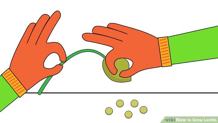 Image titled Grow Lentils Step 13