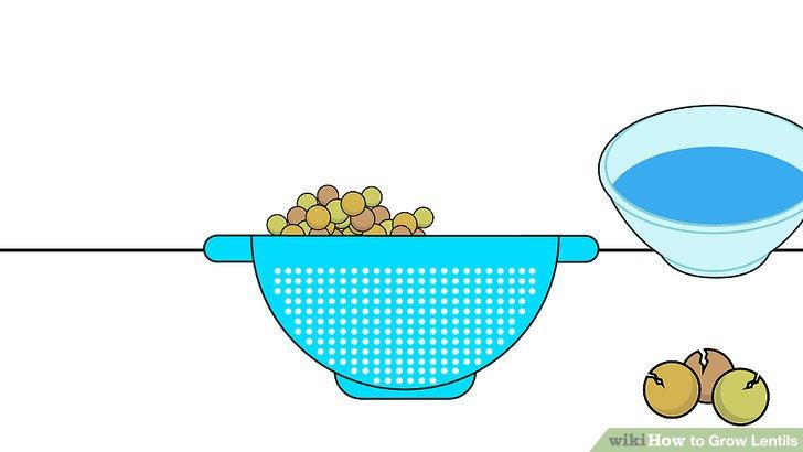 Image titled Grow Lentils Step 2