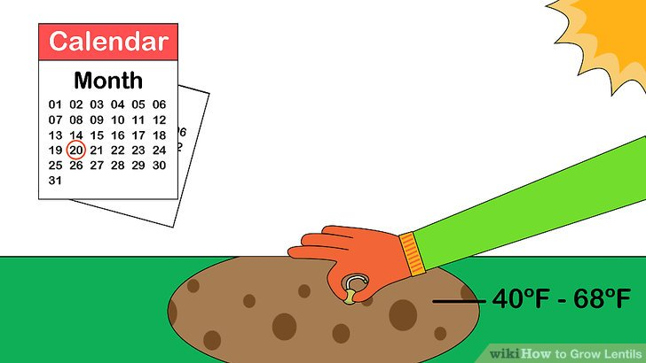 Image titled Grow Lentils Step 3