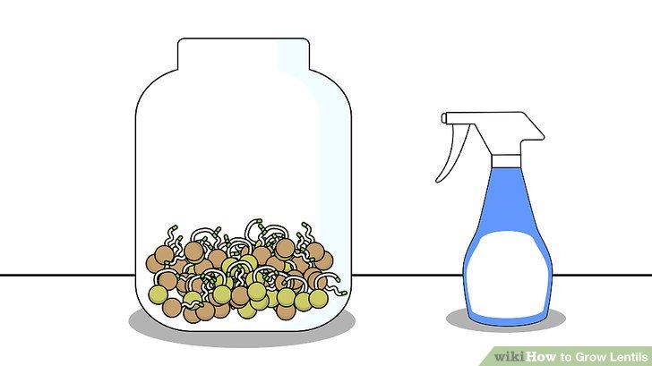 Image titled Grow Lentils Step 6