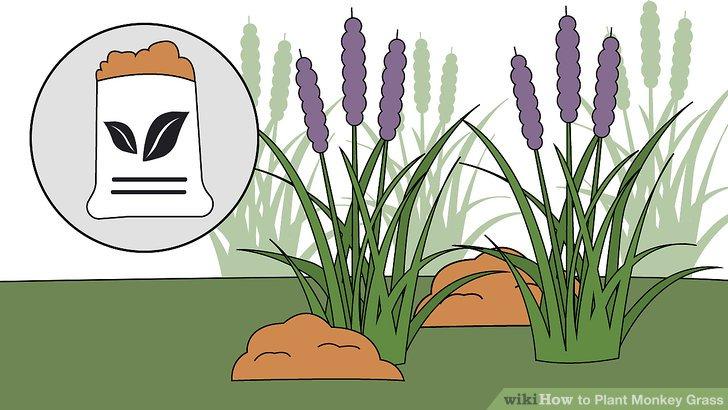 Image titled Plant Monkey Grass Step 12