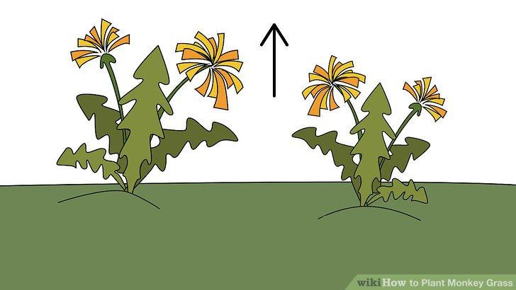Image titled Plant Monkey Grass Step 2