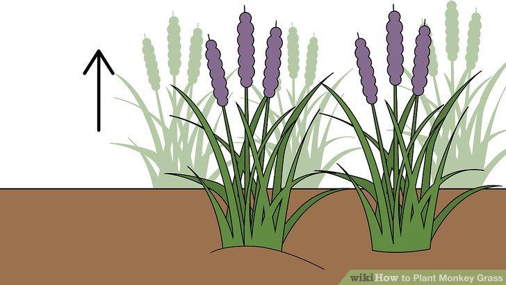 Image titled Plant Monkey Grass Step 6
