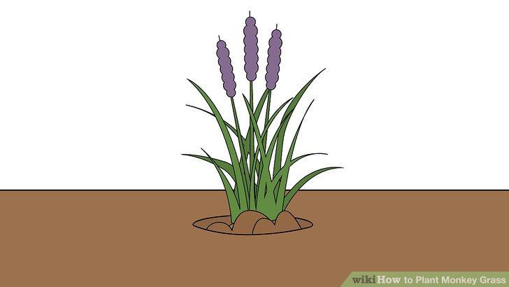 Image titled Plant Monkey Grass Step 7